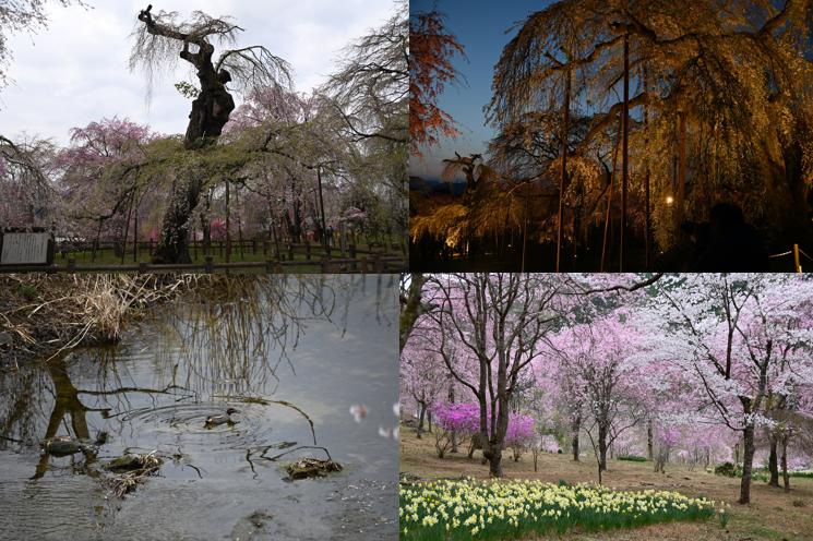 4月【小鹿野の四季】桜満開の様子
